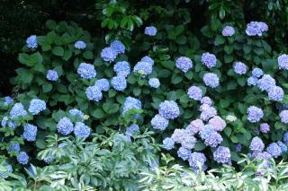 この季節には外せない紫陽花