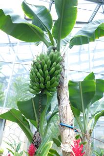 誰が食べるのか、謎のバナナ